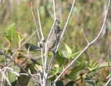 Plain-crested Elania