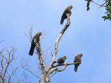 Red-Fan Parrots