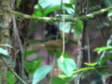 Roraiman Warbler