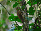Ovenbirds & Antbirds