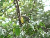 Stripe-backed Wren