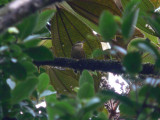 Tepui (White-throated) Foliage-Gleaner