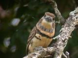 Russett-throated Puffbird