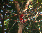 White-winged Tanager