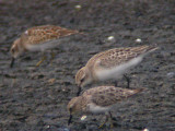 Semipalmated & Least Sandpipers