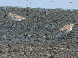 Western & Least Sandpipers