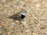 McGown's Longspur