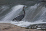 Blurry Heron *.jpg