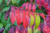 Sumac Leaves *.jpg