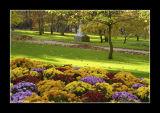 Chrysanthemes - Paris