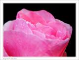 A Rose... and few drops of summer rain