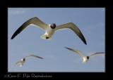 feeding_gulls_70-200