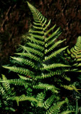 Champion's Wood Fern
