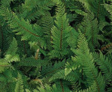 Soft Needle Fern