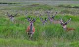 Red Deer stags in velvet Inchnadamph June 2004