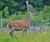 Red Deer stag in velvet Inchnadamph June 2004