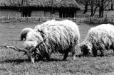fierce sheep