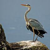 Blue heron, Lac Leman