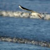 Gull hunting, Dawlish
