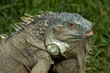 Iguana, Selwo