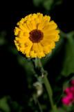 Yellow flower, Gaucin