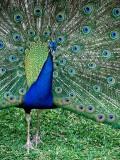 Peacock, Selwo