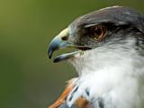 Bueto falcon, Selwo