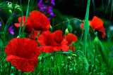 Close-up of grass and poppies