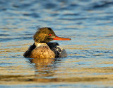 _JFF3354  Red Breasted Merganser Looking Right.jpg