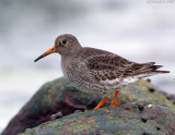 purple_sandpipers_3