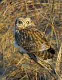 _JAF9474 Short Eared Owl Branch at Dawn.jpg