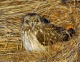 _JAF9555 Short eared Owl at Roost.jpg