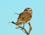 _JAF9640 Short Eared Owl Perched Blue Sky.jpg