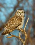 _JAF9688 Short Eared Owl Perched.jpg