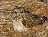 _JAF9610 Short Eared Owl Sleeping on Ground.jpg
