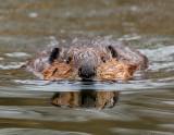 _JFF9687 Beaver.jpg