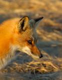 _JF00188 Red Tail Fox Head.jpg