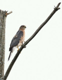 sharp_shinned_hawks