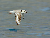 NAW4664 Male Piping Plover Flight