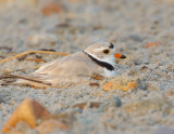 NAW4049 Piping Plover on Nest at Dawn.jpg