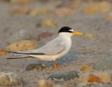 _NAW4085 Least Tern