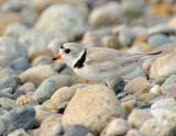 NAW4251 Piping Plover in Beach Rocks.jpg