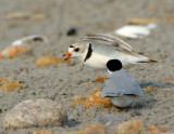 NAW4320 Piping Plover Nest Diversion Display