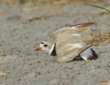 NAW4335 Piping Plover Nest Diversion Display
