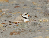 NAW4365 Piping Plover Back on Nest.