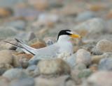 _NAW4400 Least Tern on Nest