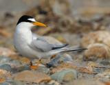 _NAW4378 Least Tern