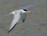 _NAW4704 Least Tern in Flight
