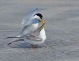 _NAW4759 Least Terns Mating ~ The Exchange