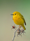 Yellow Warbler on Old Growth